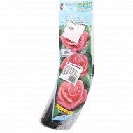 Роза чайно-гибридная «Carina».