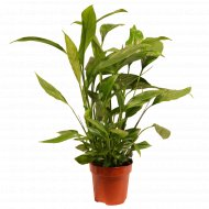 Спатифиллум, растение в горшке.