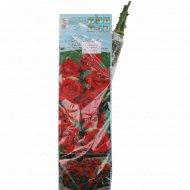 Роза флорибунд «Nina Waibull» цвет темно-красный, 1 шт.