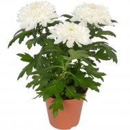 Хризантема «Белая» в горшке,1 шт