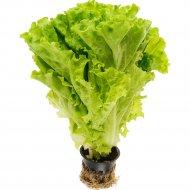 Салат листовой «Горшочек» 1 шт.