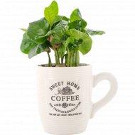 Растение «Coffe Arabica» в горшке, 1 шт