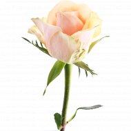 Роза «Кремовая 4» 40 см, 1 шт