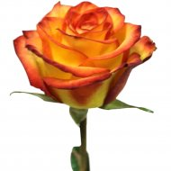 Роза «Желто-оранжевая» 40 см, 1 шт