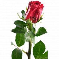 Роза «Красная 4» 40 см, 1 шт