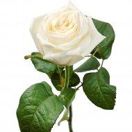 Роза «Белая» 40 см, 1 шт