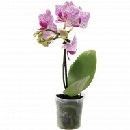 Растение в горшке «Фаленопсис-мини микс» 1 шт
