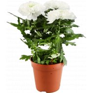 Цветок «Хризантема Зембла» в горшке, белый.