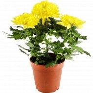 Цветок «Хризантема Зембла» в горшке, желтый.