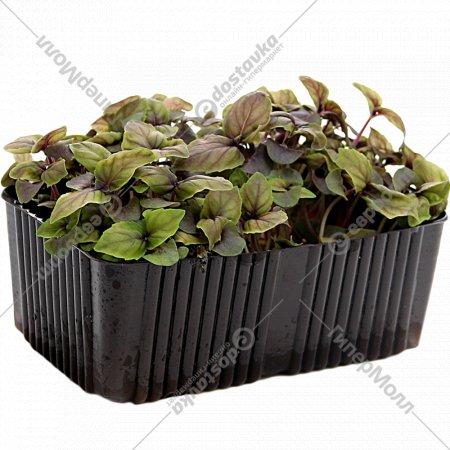 Микрозелень базилика фиолетового, 1 шт.