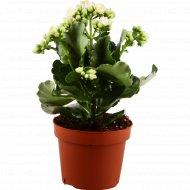 Цветок «Каланхоэ» микс.